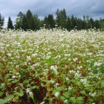 buckwheat as a cover crop and nectar for the bees