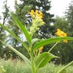 butterfly weed-hopefully to attract butterflies
