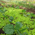 carpet of lettuce...self seeded