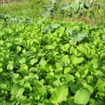 carpet of broccoli raab-self seeded